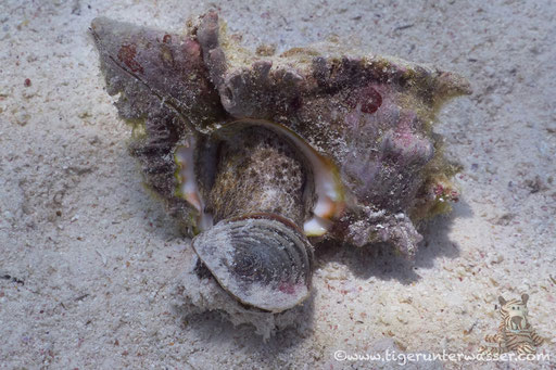 Zweig Stachelschnecke / Chicoreus ramosus / Fanus West - Hurghada - Red Sea / Aquarius Diving Club