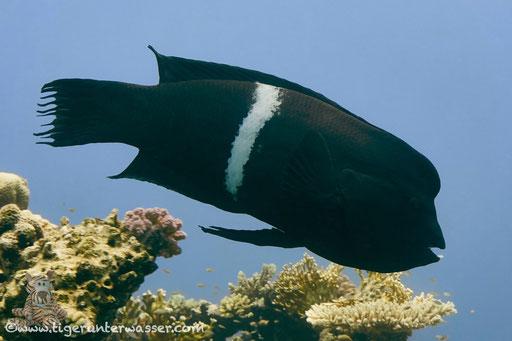 Spiegelfleck Junker / clown coris / Coris aygula / Dolphin House - Hurghada - Red Sea / Aquarius Diving Club