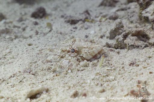 Sand Eidechsenfisch / Sand lizardfish / Synodus dermatogenys / Godda Abu Ramada West - Hurghada - Red Sea / Aquarius diving Club