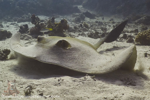 Federschwanz Stechrochen / cowtail stingray / Pastinachus sephen / Erroug - Hurghada - Red Sea / Aquarius Diving Club