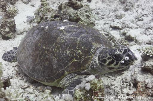 Echte Karettschildkröte / hawksbill sea turtle /  Eretmochelys imbricata / Erg Abu Ramada - Hurghada - Red Sea / Aquarius Diving Club