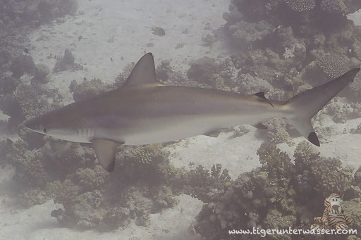 Großer Schwarzspitzen Hai - Spinner Shark - Carcharhinus brevipinna / Ben El Gebal - Hurghada - Red Sea / Aquarius Diving Club