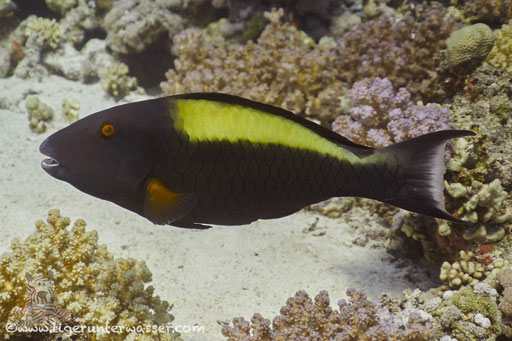 Masken Papageifisch♀ / bicolour parrotfish / Cetoscarus bicolor / Carless Reef - Hurghada - Red Sea / Aquarius Diving Club