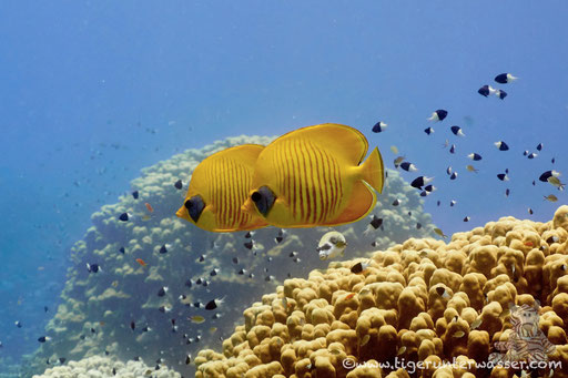 Masken Falterfisch / blue-cheeked butterflyfish / Chaetodon semilarvatus / Godda Abu Ramada East -Hurghada - Red Sea / Aquarius Diving Club