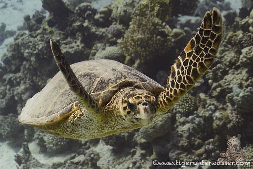 Echte Karettschildkröte / hawksbill sea turtle / Eretmochelys imbricata / Shaab Sabina - Hurghada - Red Sea / Aquarius Diving Club