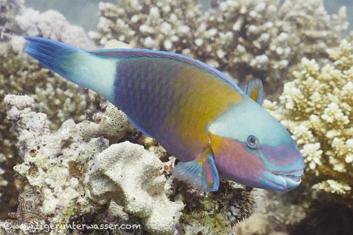 Kugelkopf Papagaifisch ♂/ Bullethead Parrotfish ♂/ Clorurus sordidus ♂/ Hurghada - Red Sea / Aquarius Diving Club