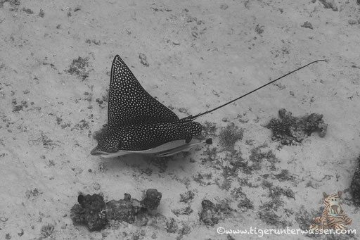 Gefleckter Adlerrochen / spotted eagle ray / Aetobatus narinari / Banana Reef - Hurghada - Red Sea / Aquarius Diving Club