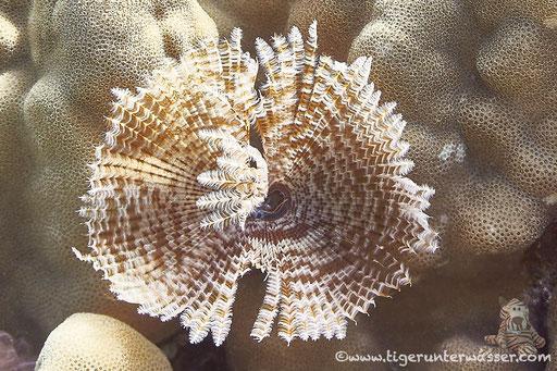 Indischer Röhrenwurm / Indian feather duster worm / Sabellastarte indica /- Hurghada - Red Sea / Aquarius Diving Club