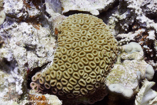 Knopf Sternkoralle / Head coral / Favia favus / Shaab Sabina - Hurghada - Red Sea / Aquarius Diving Club