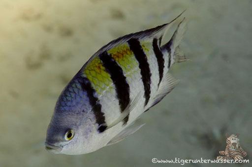 Indopazifik Sergant / Indo-Pacific Sergeant / Abudefduf vaigiensis / Erg Talata - Hurghada - Red Sea / Aquarius Diving Club