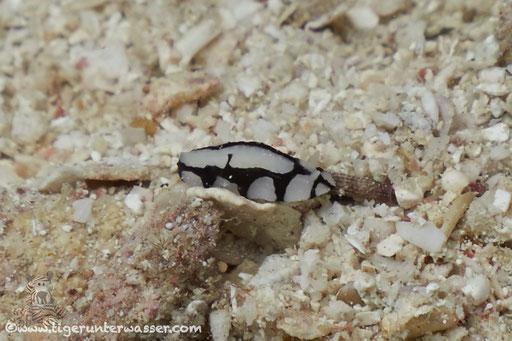 Dautzenbergs Warzenschnecke / Dautzenberg`s wart slug / Phyllidiopsis dautzenbergi / Erg Estha - Hurghada - Red Sea / Aquarius Diving Club