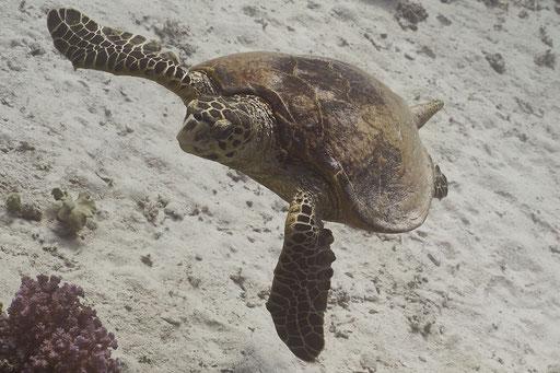 Echte Karettschildkröte / hawksbill sea turtle / Eretmochelys imbricata / Fanus West - Hurghada - Red Sea / Aquarius Diving Club