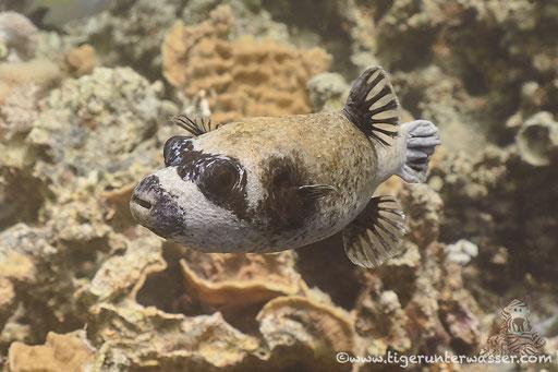 Masken Kugelfisch / masked puffer / Arothron diadematus / Fanus East - Hurghada - Red Sea / Aquarius Diving Club