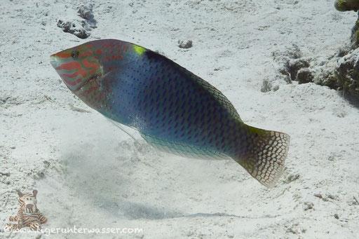 Schachbrett Junker / checkerboard wrasse / Halichoeres hortulanus / Ben El Gebal - Hurghada - Red Sea / Aquarius Diving Club