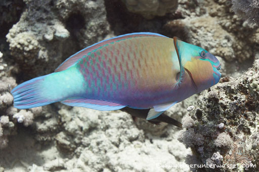 Kugelkopf Papagaifisch ♂/ Bullethead Parrotfish ♂/ Clorurus sordidus ♂/ Hurghada - Red Sea / Aquarius Diving Club