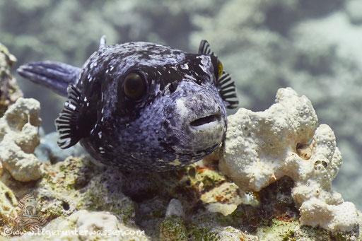 Masken Kugelfisch / masked puffer / Arothron diadematus / Ben El Gebal - Hurghada - Red Sea / Aquarius Diving Club