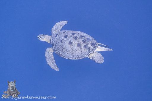 Grüne Schildkröte / Green Sea Turtle / Chelonia mydas / Small Giftun - Hurghada - Red Sea / Aquarius Diving Club