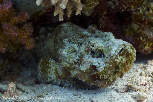 Buckliger Drachenkopf / false stonefish / Scorpaenopsis diabolus / Godda Abu Galawa - Hurghada - Red Sea / Aquarius Diving Club