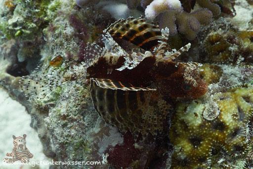 Kurzflossen Zwergfeuerfisch / Shortfin Turkeyfish or Dwarf lionfish / Dendrochirus brachypterus / Erg Estha - Hurghada - Red Sea / Aquarius Diving Club