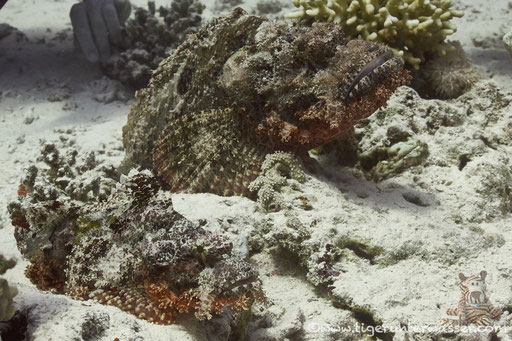 Bärtiger Drachenkopf / bebared scorpionfish / Scorpaeopsis barbatus /  - Hurghada - Red Sea / Aquarius Diving Club