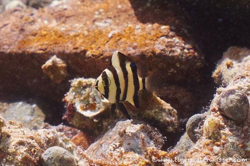 Fünfbinden Demoiselle / Chrysiptera annulata / Marriott Beach - Hurghada - Red Sea / Aquarius Diving Club
