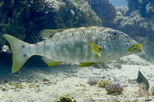 Gelblippen Strassenkehrer / Lethrinus xanthochilus / Abu Ramada Süd - Hurghada - Red Sea / Aquarius Diving Club