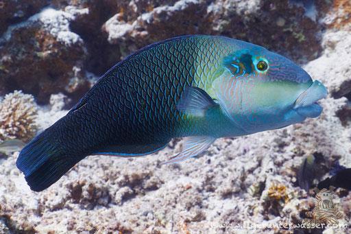 Zweifarben Bannerlippfisch / Blackeye thicklip / Hemigymnus melapterus / Marsa Abu Galawa - Hurghada - Red Sea / Aquarius Diving Club