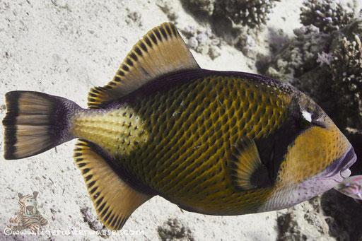 Riesen Drückerfisch / titan triggerfish / Balistoides viridescens / Godda Abu Ramada East/West - Hurghada - Red Sea / Aquarius Diving Club