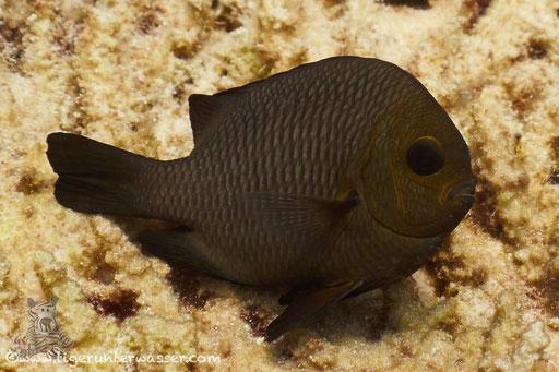 Dreifleck Preussenfisch / Threespot dascyllus / Dascyllus trimaculatus / Abu Ramada Süd - Hurghada - Red Sea / Aquarius Diving Club