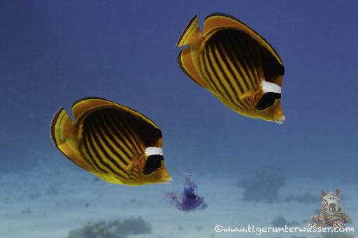 Tabak Falterfisch / Red Sea Raccoon Butterflyfish / Chaetodon fasciatus / Ben El Gebal - Hurghada - Red Sea / Aquarius Diving Club