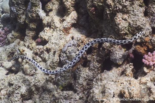 Gefleckter Schlangenaal - spotted snake eel - Myrichthys maculosus / Abu Ramada Süd - Hurghada - Red Sea / Aquarius Diving Club