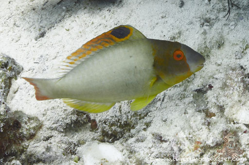 Masken Papageifisch / bicolour parrotfish / Cetoscarus bicolor / Dolphin House - Hurghada - Red Sea / Aquarius Diving Club