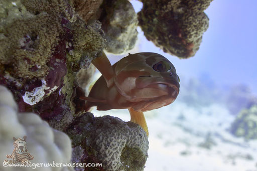 Baskenmützen Zackenbarsch / Blacktip grouper / Epinephelus fasciatus / Ben El Gebal - Hurghda - Red Sea / Aquarius Diving Club