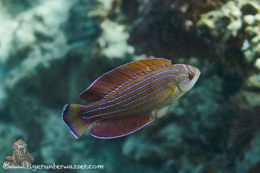 Rotmeer Fahnenlippfisch / Red Sea eightline flasher / Paracheilinus octotaenia / Fanadir Nord - Hurghada - Red Sea / Aquarius Diving Club
