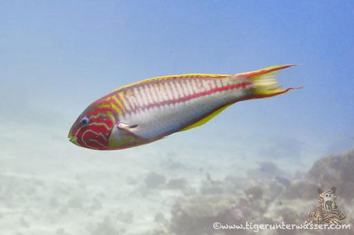 Rotmeer Junker / Klunzinger's wrasse / Thalassoma rueppellii / Dolphin House - Hurghada - Red Sea / Aquarius Diving Club