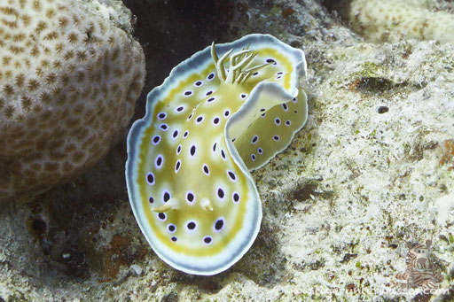 Zwilling Sternschnecke / Chromodoris geminus / Godda Abu Ramada East/West - Hurghada - Red Sea / Aquarius Diving Club