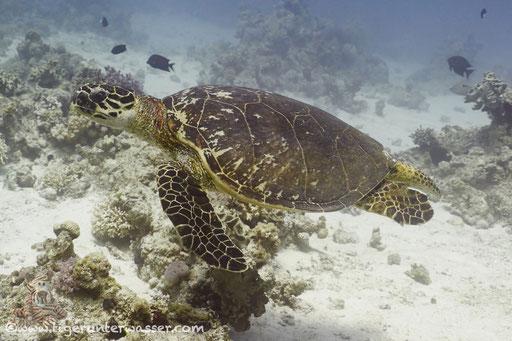 Echte Karettschildkröte / hawksbill sea turtle / Eretmochelys imbricata / Abu Ramada Süd - Hurghada - Red Sea / Aquarius Diving Club