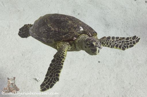 Echte Karettschildkröte / hawksbill sea turtle / Eretmochelys imbricata / Disha Malagk - Hurghada - Red Sea / Aquarius Diving Club