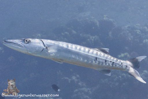 Grosser Barrakuda / great barracuda - giant barracuda / Sphyraena barracuda / Small Giftun - Hurghada - Red Sea / Aquarius Diving Club