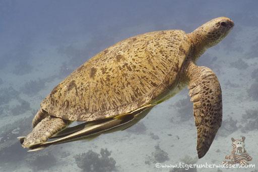 Grüne Schildkröte / Green Sea Turtle / Chelonia mydas / Ben El Gebal - Hurghada - Red Sea / Aquarius Diving Club