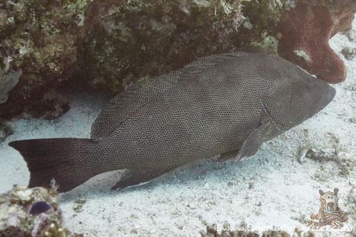 Braunpunkt Zackenbarsch / Brown spotted reef cod / Epinephelus chlorostigma / Marsa Abu Galawa - Hurghada - Red Sea / Aquarius Diving Club