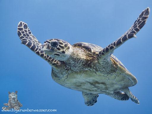Echte Karettschildkröte / hawksbill sea turtle / Eretmochelys imbricata / Fanus East - Hurghada - Red Sea / Aquarius Diving Club