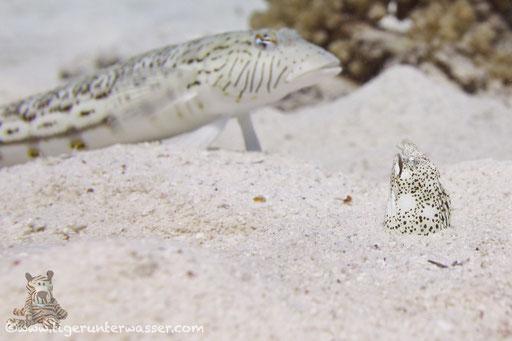 Marmor Schlangenaal - Marbled snake eel - Callechelys marmorata / Fanus West - Hurghada - Red Sea / Aquarius Diving Club