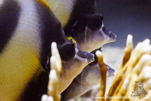 Rotmeer Wimpelfisch / Red Sea bannerfish / Heniochus intermedius / Ben El Gebal - Hurghada - Red Sea / Aquarius Diving Club
