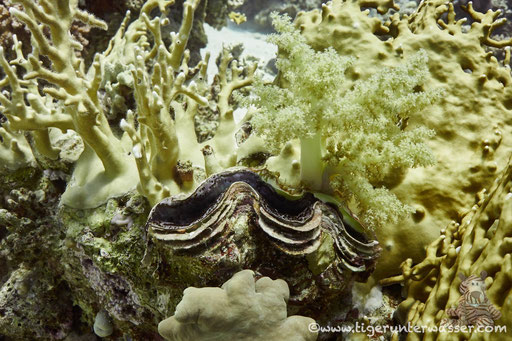 Schuppige Riesenauster / common giant clam / Pteria aegyptiaca / Small Giftun - Hurghada - Red Sea / Aquarius Diving Club