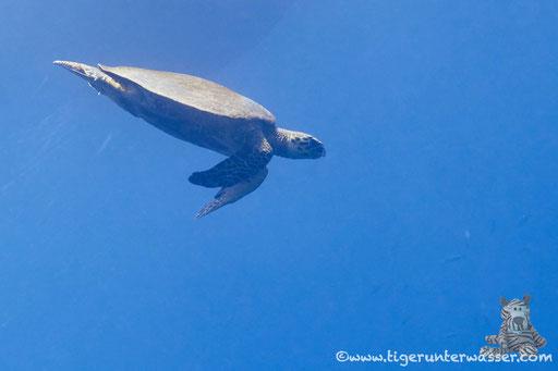 Echte Karettschildkröte / hawksbill sea turtle / Eretmochelys imbricata / Umm Kamar - Hurghada - Red Sea / Aquarius Diving Club