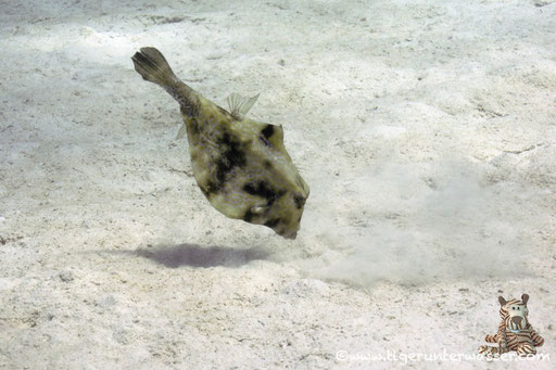 Pyramiden Kofferfisch / humpback turretfish / Tetrasomus gibbosus / Sakhwat Abu Galawa - Hurghada - Red Sea / Aquarius Diving Club