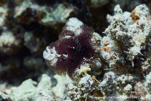 Weihnachtsbaum Röhrenwurm / Christmas tree worms / Spirobranchus giganteus / Erg Talata - Hurghada - Red Sea / Aquarius Diving Club