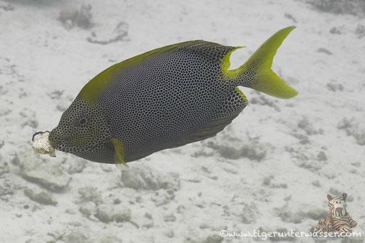 Tüpfel Kaninchenfisch / Stellate rabbitfish / Siganus stellatus laqueus / Fanus West - Hurgada - Red Sea / Aquarius Diving Club
