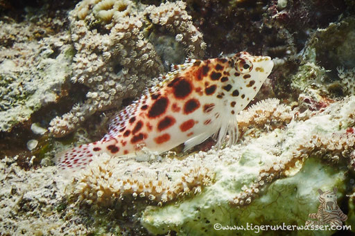 Gefleckter Korallenwächter - Spottet hawkfish - Cirrhitychthys oxycephalus / Errought - Hurghada Red Sea - Aquarius Diving Club